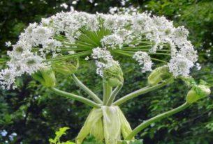 Niebezpieczne rośliny: Barszcz Sosnowskiego